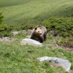 Bären im Arosa Bärenland