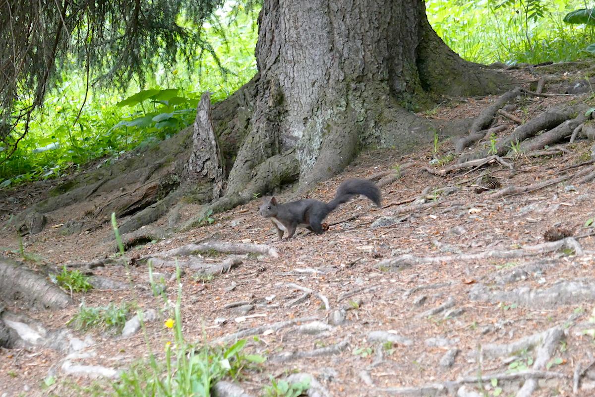 Auf dem Eichhörnchenweg Arosa können Eichhörnchen gefütter werden
