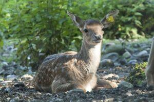 Hirschpark Luzern Bambi